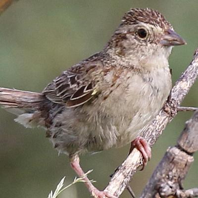 Cassin's Sparrow CASP