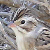 Clay-colored Sparrow CCSP