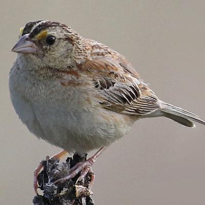 Grasshopper Sparrow GRSP