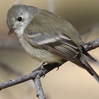 Hammond's Flycatcher HAFL