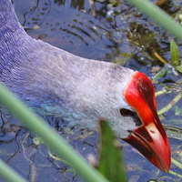 Gray-headed Swamphen GHSW