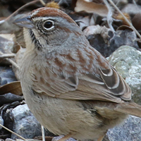 Rufous-crowned Sparrow RCSP