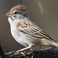 Rufous-winged Sparrow RWSP