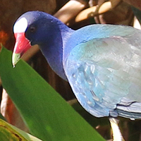 Purple Gallinule PUGA