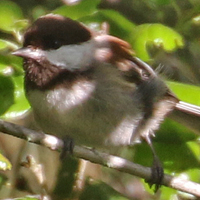 Chestnut-backed Chickadee CBCH