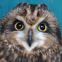 Short-eared Owl SEOW