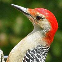 Red-bellied Woodpecker RBWO male