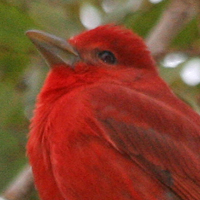 Summer Tanager SUTA male