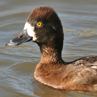 Lesser Scaup LESC female