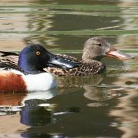 Norther Shoveler NSHO
