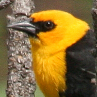 Yellow-headed Blackbird YHBL male