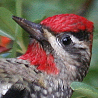 Red-naped Sapsucker RNSA