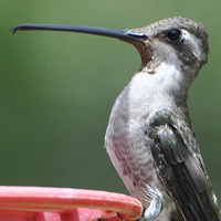 Plain-capped Starthroat PCST