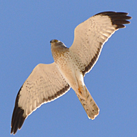 Northern Harrier NOHA male