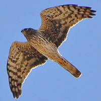 Northern Harrier NOHA female