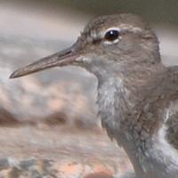 Spotted Sandpiper SPSA nonbreeding