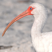 White Ibis WHIB mature