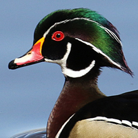 Wood Duck WODU male