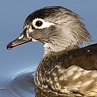 Wood Duck WODU female