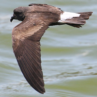 Wedge-rumped Storm-Petrel WRSP
