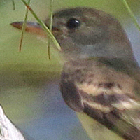 Willow Flycatcher WIFL