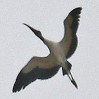 White Ibis WHIB