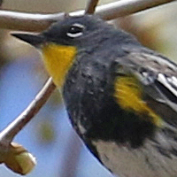 Yellow-rumped Warbler YRWA Audubon summer