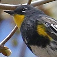 Yellow-rumped Warbler YRWA Audubon summer