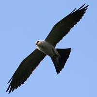 Mississippi Kite MIKI