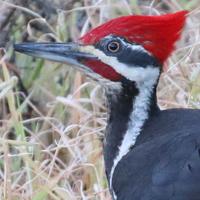 Pileated Woodpecker PIWO male