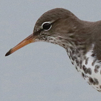 Spotted Sandpiper SPSA breeding