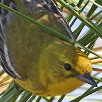 Pine Warbler PIWA