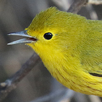 Yellow Warbler YEWA male