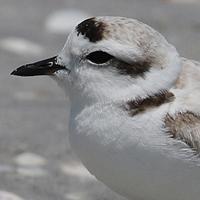 Snowy Plover SNPL breeding