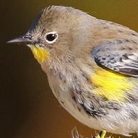 Yellow-rumped Warbler YRWA Audubon winter