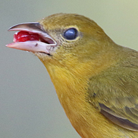 Summer Tanager SUTA female