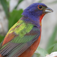 Painted Bunting PABU