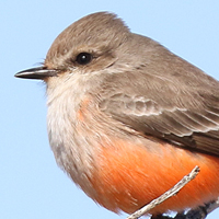 Vermilion Flycatcher VEFL female