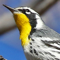 Yellow-throated Warbler YTWA
