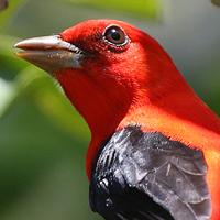 Scarlet Tanager SCTA