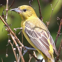 Orchard Oriole OROR