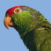 Red-crowned Parrot RCPA