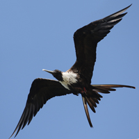 Magnificent Frigatebird MAFR female