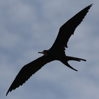 Magnificent Frigatebird MAFR male