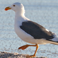 Yellow-footed Gull YFGU
