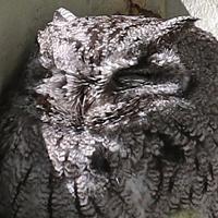 Western Screech-Owl WESO