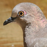 White-tipped Dove WTDO