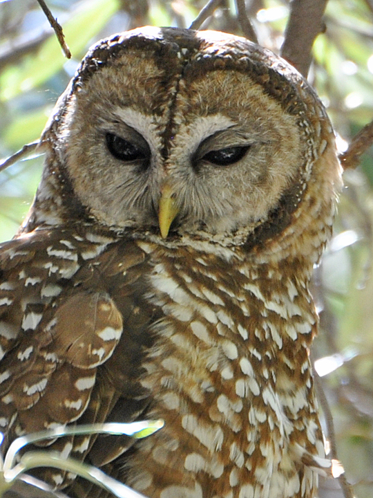 Spotted Owl SPOW