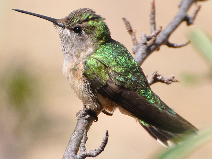 Broad-tailed Hummingbird female