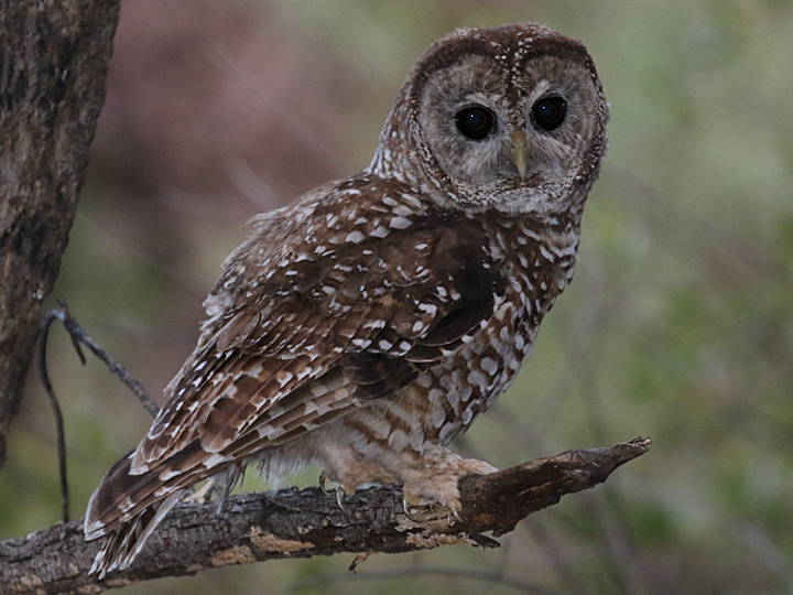 Mexican Spotted Owl SPOW